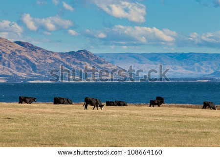 Happy cows grazing on green pasture at beautiful Hawea Lake in the Southern Alps of New Zealand - stock photo