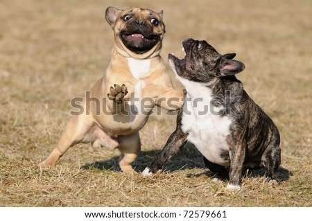 happy crazy young French Bulldog puppy 11 months playing  in the field - stock photo