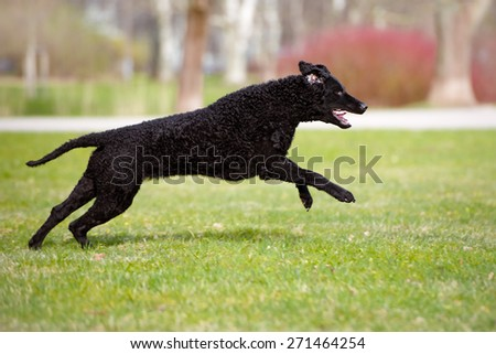 happy curly coated retriever dog running outdoors - stock photo