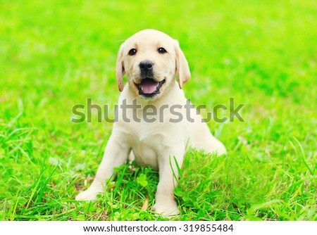 Happy cute dog puppy Labrador Retriever sitting on green grass in sunny summer day - stock photo