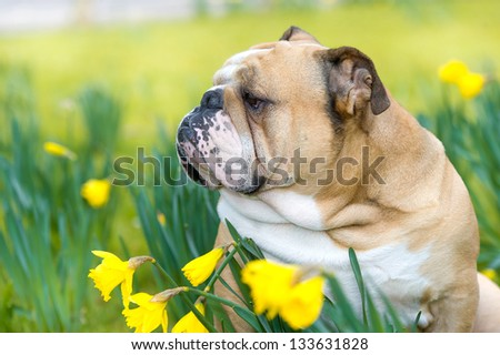 Happy cute english bulldog dog partrait in the spring field of yellow daffodils - stock photo