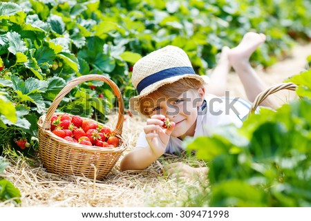 Happy cute kid boy picking and eating strawberries on organic bio berry farm in summer, on warm sunny day. Harvest fields in Germany. Healthy food for children. Gardening, harvesting, lifestyle  - stock photo