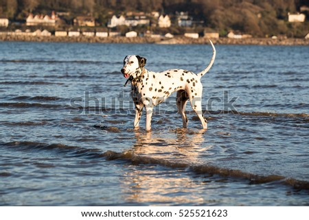 Happy dalmatian dog standing in sea water with her tail up in the air