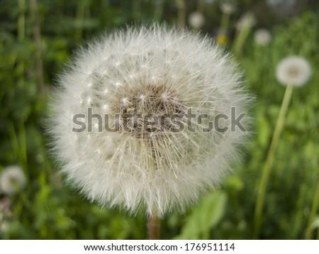 Happy Dandelion - stock photo