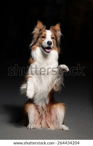 happy dog border collie shows trick on black background