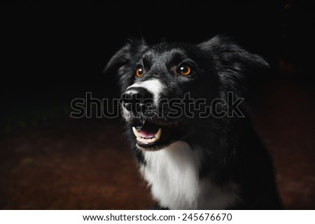 happy dog border collies on black background