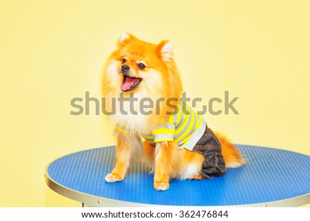 happy dog breed Spitz wearing T-shirt and shorts - stock photo