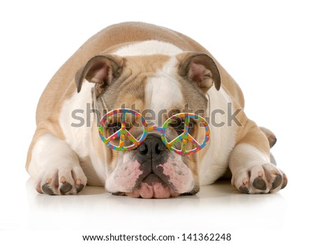 happy dog - english bulldog wearing peace sign glasses laying down isolated on white background - stock photo