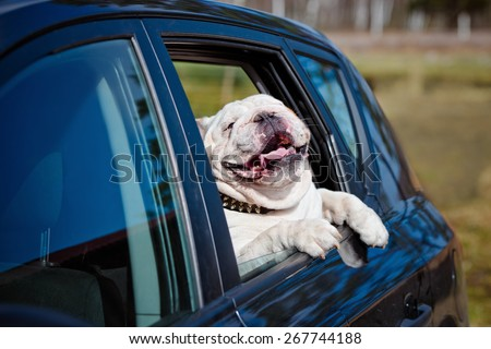 happy dog in a car - stock photo