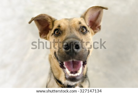 Happy dog is a funny German Shepherd looking up and flashing a great big happy smile for the camera. - stock photo