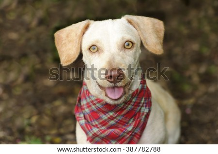 Happy dog is a white happy looking dog with cute floppy ears and his adorable pink tongue and glowing brown eyes giving a great big smile to you. - stock photo