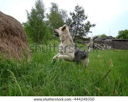 Happy dog jump - stock photo