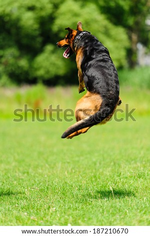 Happy dog jumping on the green meadow - stock photo