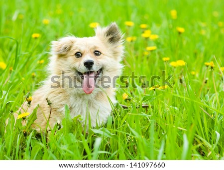 happy dog on blooming dandelion meadow - stock photo