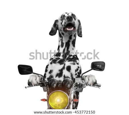 happy dog rides on a motorcycle -- isolated on white - stock photo