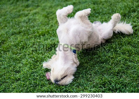 Happy dog rolling on the grass