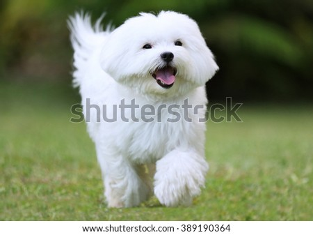 Happy Dog Running / Close-up of a  white maltese dog running on green grass background - stock photo