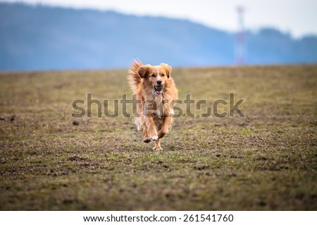 Happy dog, running fast with a teniss ball on field with grass - stock photo