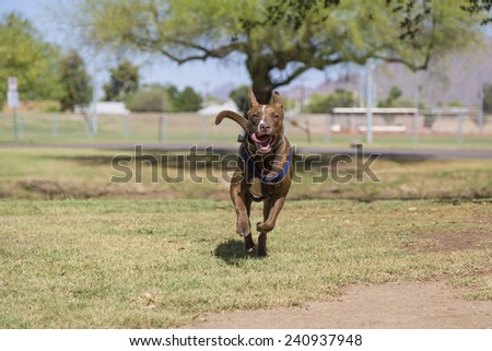 Happy dog running in an outdoor park setting. - stock photo