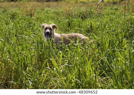 happy dog running in the Field