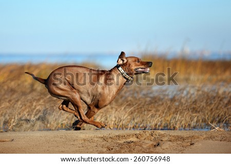 Happy dog running on beach after a swim - stock photo