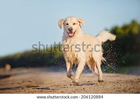 happy dog running on the beach - stock photo