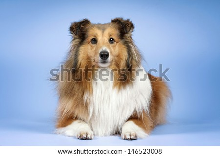 Happy dog??, sheltie, on a colored background