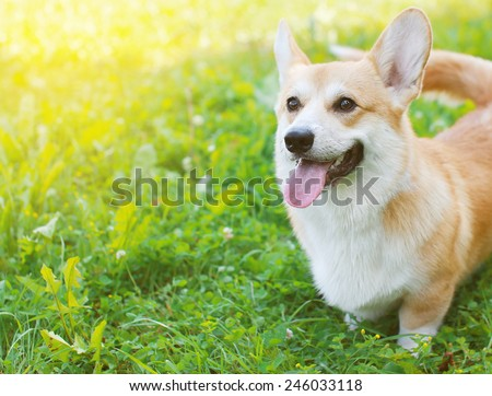 Happy dog Welsh Corgi Pembroke in summer day - stock photo