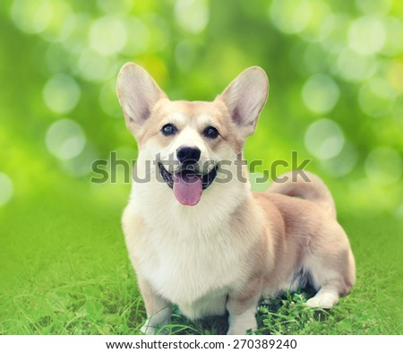 Happy dog Welsh Corgi Pembroke sitting on the grass in sunny summer day - stock photo