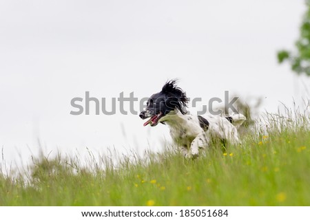 Happy dogs having fun in a field of springtime buttercups in the UK - stock photo