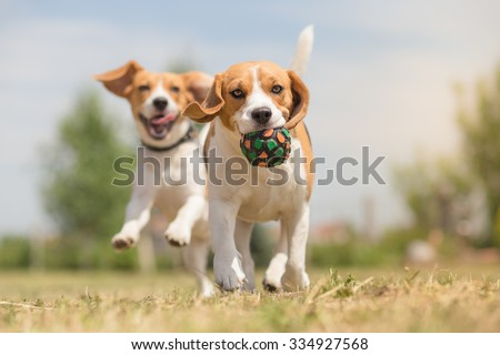 Happy dogs having fun with ball - stock photo