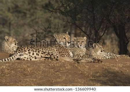 Happy family of cheetahs - stock photo