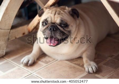 Happy fat pug dog under table