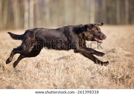 happy flat coated retriever dog in a jump - stock photo