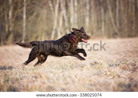 happy flat coated retriever dog running on a field - stock photo