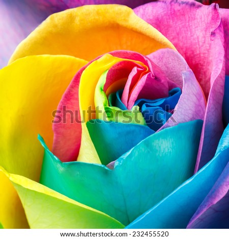 Happy flower background. Colorful rose - stock photo