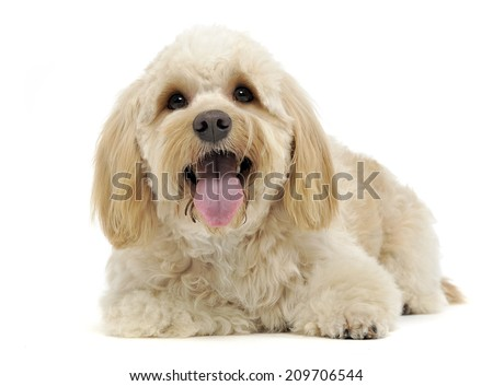 Happy funny brown dog looking in a white studio