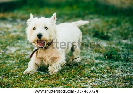 Happy Funny West Highland White Terrier - Westie, Westy Dog Play in Grass - stock photo