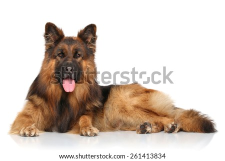 Happy German shepherd dog lying down on white background - stock photo