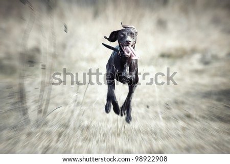 Happy German short haired pointer dunning outdoors - stock photo