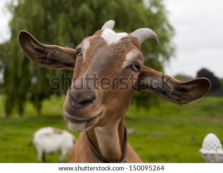 Happy Goat - stock photo