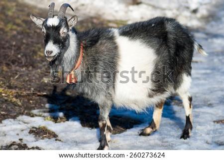 happy goat - stock photo