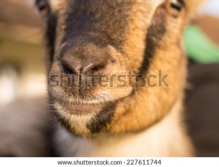 Happy Goat nose and head - stock photo