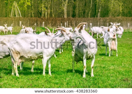 Happy goats herd in an open sunny field with green grass - stock photo