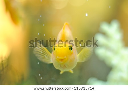 Happy Gold Parrot Fish in Aquarium - stock photo