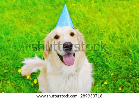 Happy Golden Retriever dog in birthday paper cap on the grass summer - stock photo