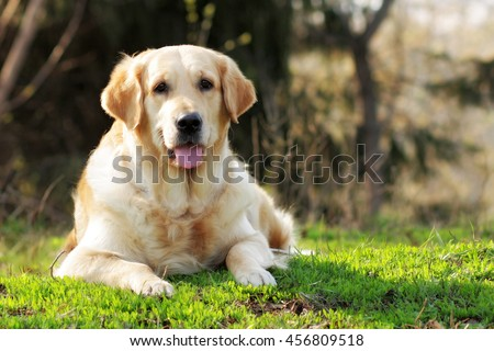 happy Golden Retriever dog lying in the summer grass and looking at the camera - stock photo