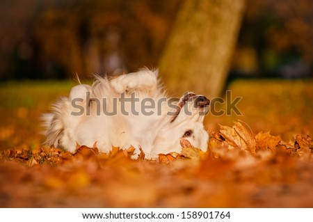 happy golden retriever dog rolling in autumn leaves - stock photo
