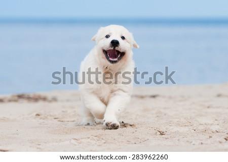 happy golden retriever puppy - stock photo