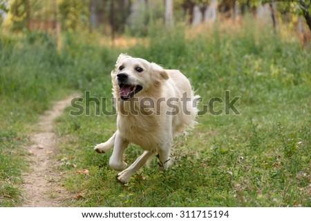 Happy Golden Retriever running. - stock photo